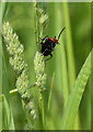 TQ2690 : Red-headed Cardinal Beetle by Martin Addison