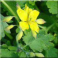 NY3758 : Greater Celandine (Chelidonium majus) by Anne Burgess