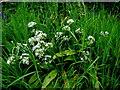 H4785 : Wild garlic, Rylands by Kenneth  Allen