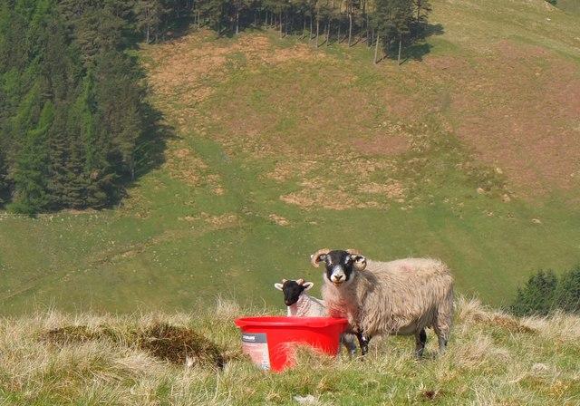 Ewe and lamb, Manor Valley