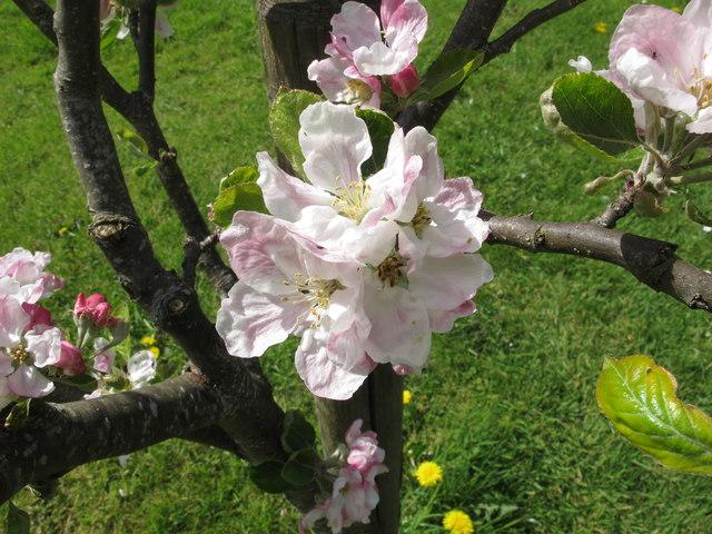 Apple blossom, Priorwood garden, Melrose