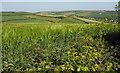 SX7640 : Barley by Hillhead Cross by Derek Harper