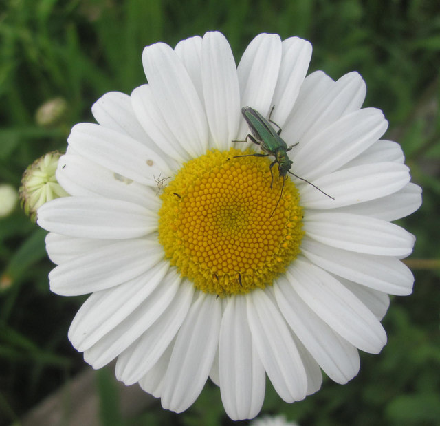 One of the very many Oxeye Daisies at College Lake