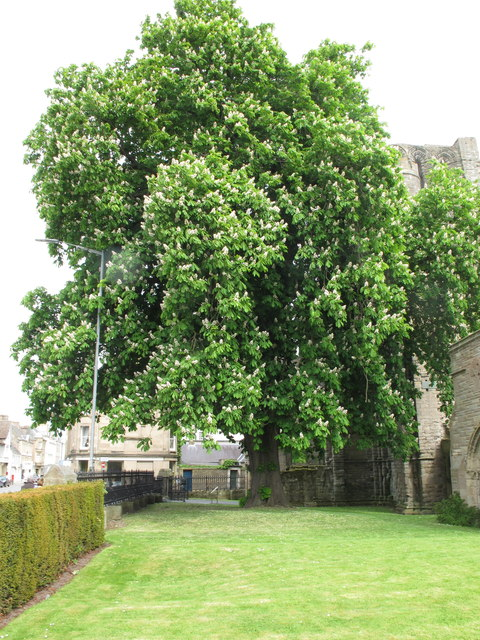 Kelso Abbey, horse chestnut tree in flower