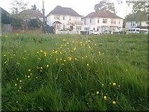 TQ1988 : Buttercups in Roe Green Park by David Howard