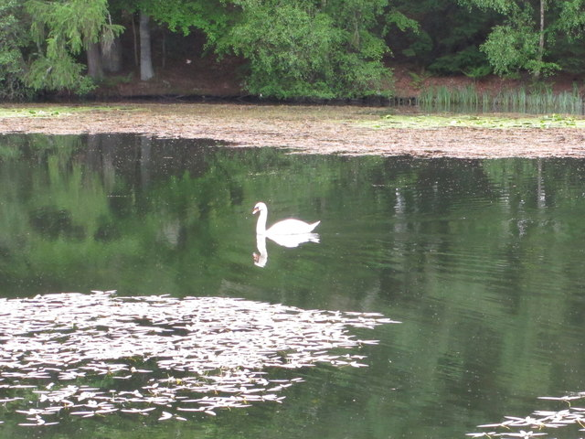 Bowhill Upper Loch with swan and its reflection