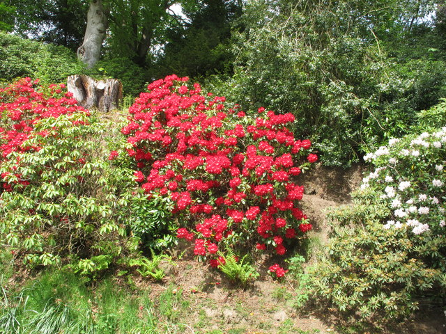 Rhododendron by drive, Bowhill