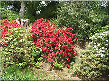 NT4227 : Rhododendron by drive, Bowhill by David Hawgood