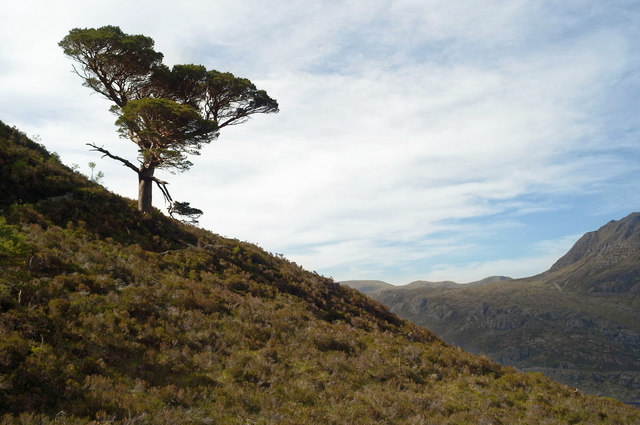 Lone Scots Pine