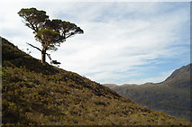 NG9964 : Lone Scots Pine by Julian Paren