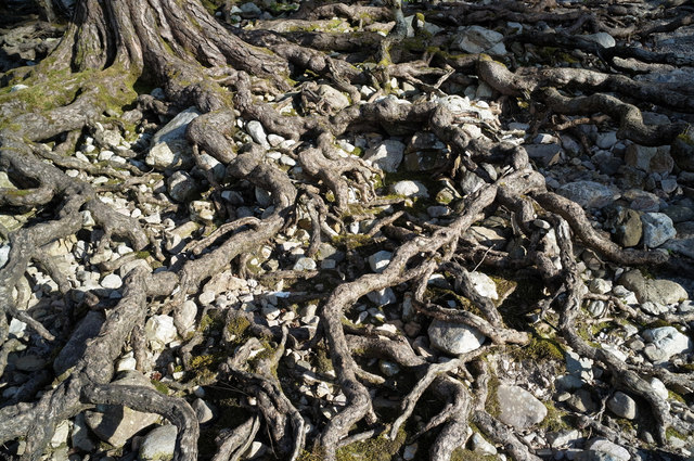 Exposed roots of Scots Pine, Loch Maree