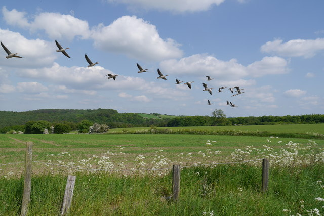 Geese flying over farmland, Eccup