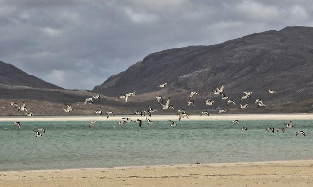 Oystercatchers on the beach at Luskentyre