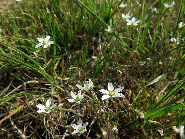 Spring sandwort (Minuarta verna), Tyne Riverside