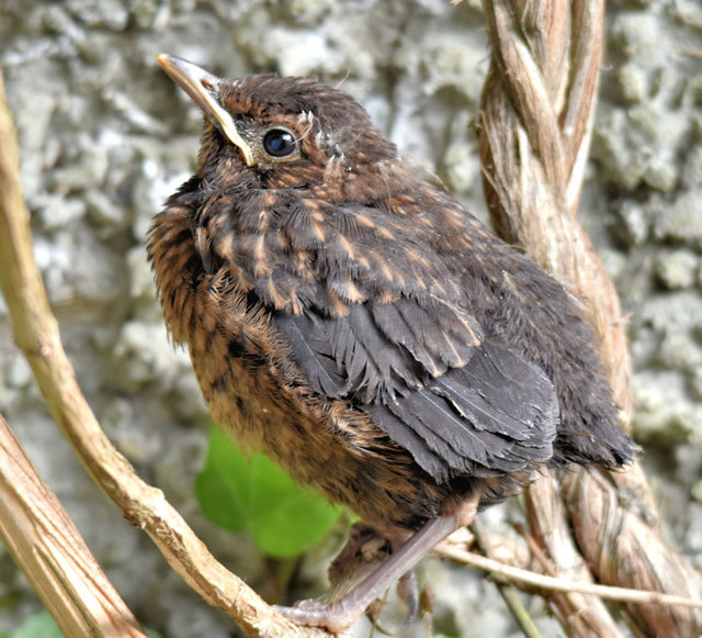 Young blackbird, Belfast (May 2018)