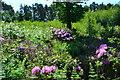 SU3016 : Resurgent rhododendron on the edges of Foxbury by David Martin