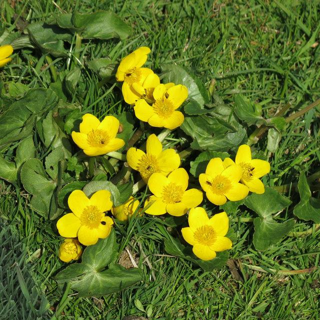 Marsh marigold (or kingcup) [Caltha palustris]