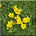 NY8241 : Marsh marigold (or kingcup) [Caltha palustris] by Mike Quinn