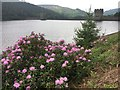 SK1692 : Rhododendron bush beside Howden Reservoir by Graham Hogg