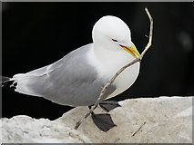 NU2135 : Kittiwake and nesting material by James T M Towill