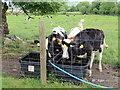 H3586 : Calves, Milltown by Kenneth  Allen
