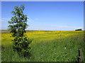 SK0090 : Buttercup field : Week 23