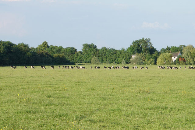 Cattle on Lower Ham