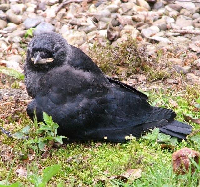 Fledgling jackdaw (Corvus monedula)