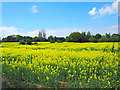 SJ4368 : Field of Rapeseed near Mickle Trafford by Jeff Buck
