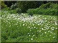 TQ7942 : Ox-eye daisies at Iden Croft Herb Garden by Marathon
