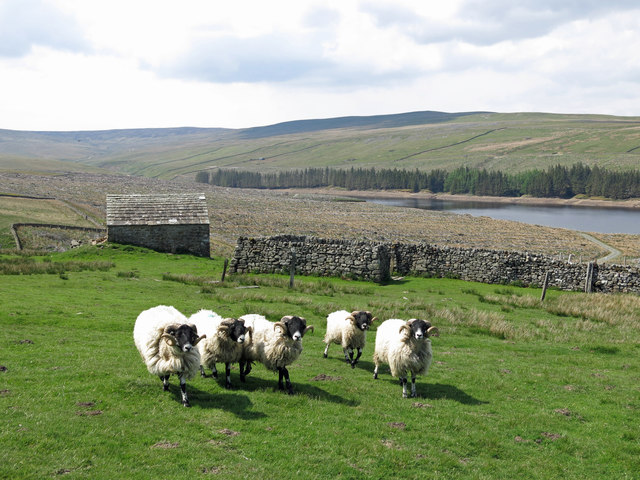 Swaledales and sheepfolds at High Whinsike