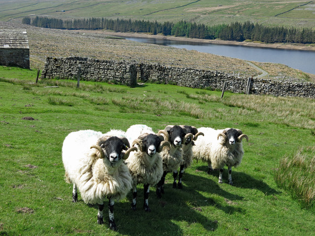 Swaledales and sheepfolds at High Whinsike (2)