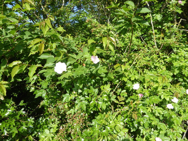 Dogrose in the hedgerow at Plowden