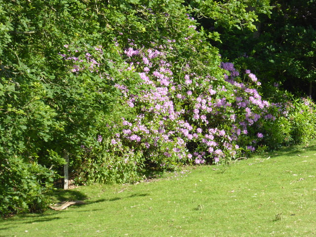 Rhododendron in the hedgeline near Plowden