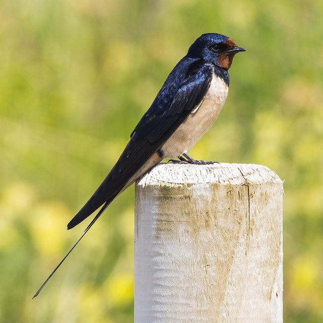 Swallow, Benone