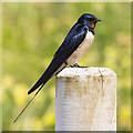 C7136 : Swallow, Benone by Rossographer
