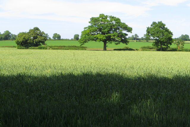 Wheat field by the footpath