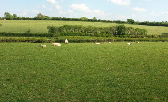Sheep near Little Ladford
