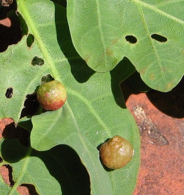 Currant galls on oak leaf