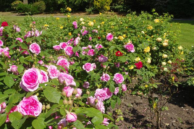 Roses - Victoria Park, Macclesfield