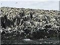 NU2337 : Seabird colony on Brownsman by Jonathan Hutchins