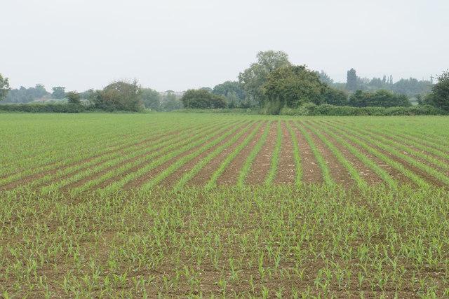 Emerging crop near Rudgeway Farm