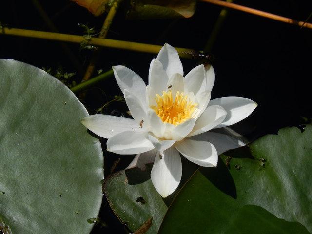 Lily - Bosherston Lily Ponds
