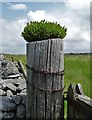 SK0669 : Gatepost with box plant by Neil Theasby