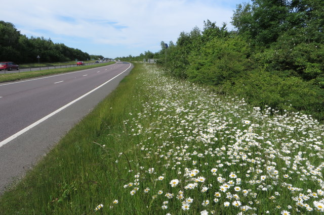 Daisies by the A43