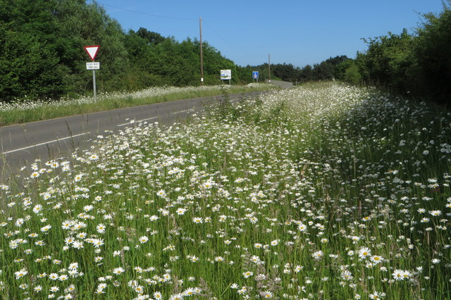 Daisies by the road to Cottisford