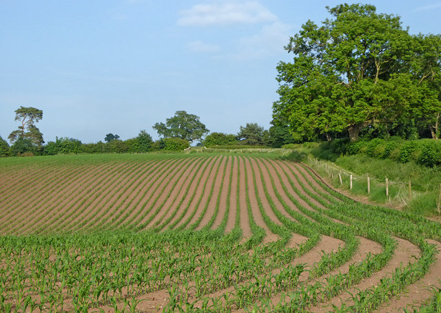 Maize field near Audlem in Cheshire