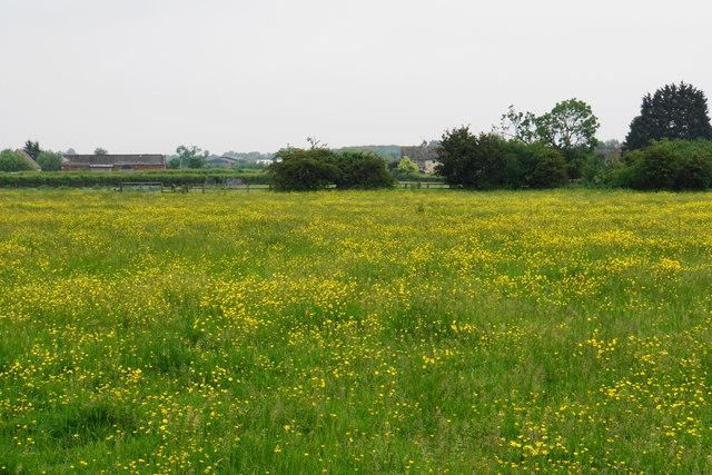 Field of buttercups at Hardwicke