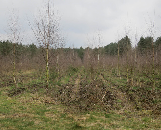 Birch and conifer planting