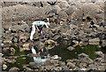 NS2310 : The shore below Culzean Castle : Week 24